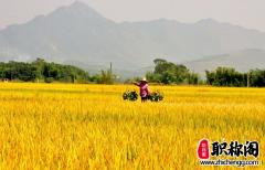 水稻遗存在陕西华县东阳遗址的发现